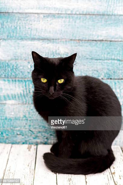 portrait of black cat sitting in front of wooden wall - gatto nero foto e immagini stock