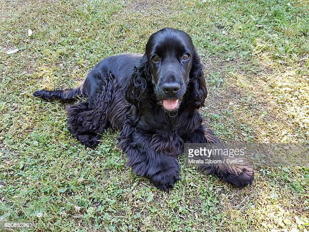 Portrait Of Black Cocker Spaniel Relaxing On Field