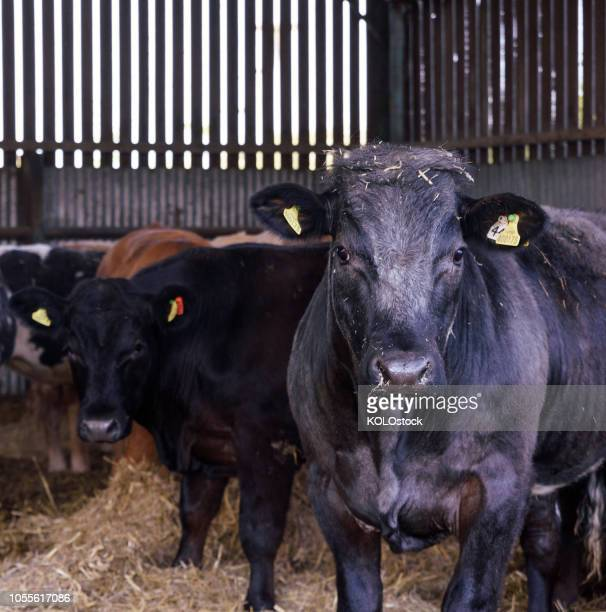 portrait of black cows looking into camera - boston lincolnshire stock photos and pictures