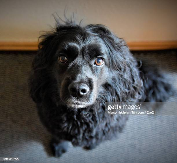 portrait of black dog at home - eye black stock photos and pictures