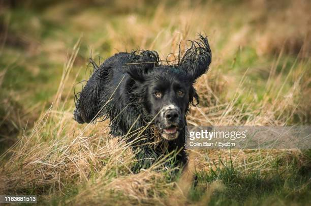 portrait of black dog on field - barr stock pictures, royalty-free photos & images