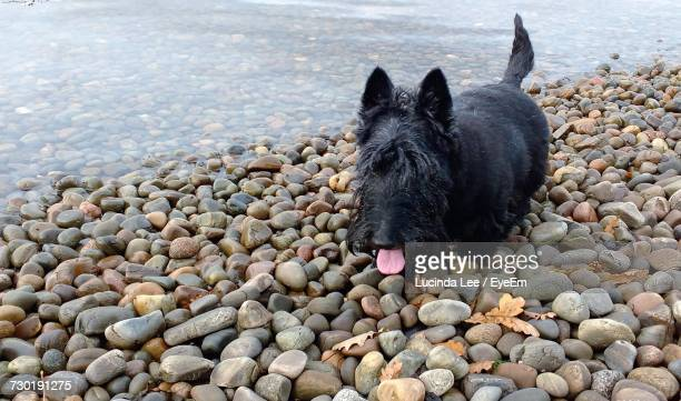 Portrait Of Black Dog On Pebbles At Beach