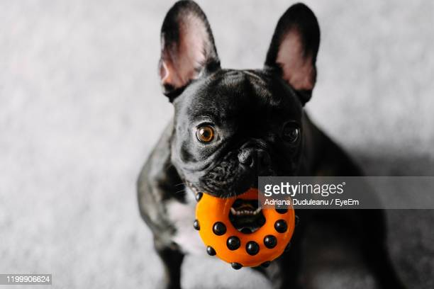 portrait of black dog - イヌのおもちゃ ストックフォトと画像
