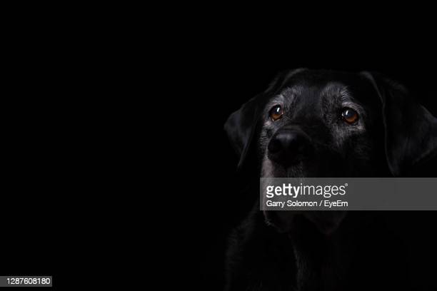 portrait of black dog - black labrador stock pictures, royalty-free photos & images