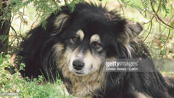 portrait of black dog relaxing on field - bortes stock pictures, royalty-free photos & images