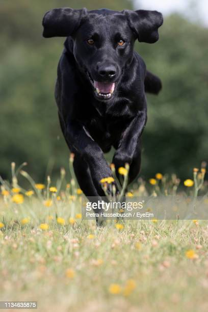 portrait of black dog running on grassy field - black labrador stock pictures, royalty-free photos & images
