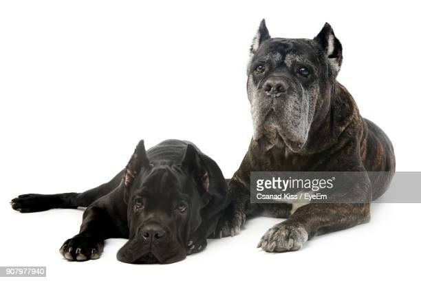 Portrait Of Black Dogs Sitting On White Background