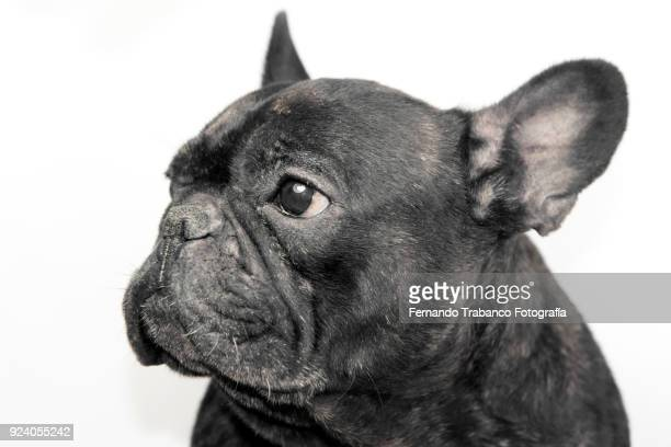 portrait of black french bulldog with white background - animal ear stock photos and pictures