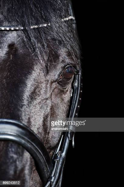 portrait of black horse at black backround - dressage horse russia stock photos and pictures