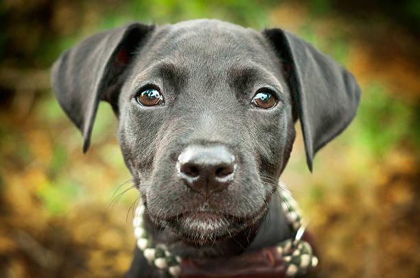 Portrait Of Black Lab Puppy Wall Art