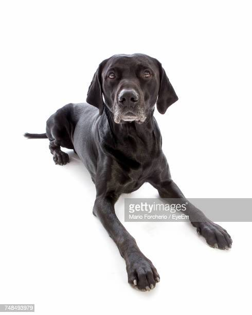 portrait of black labrador lying on white background - black labrador stock pictures, royalty-free photos & images