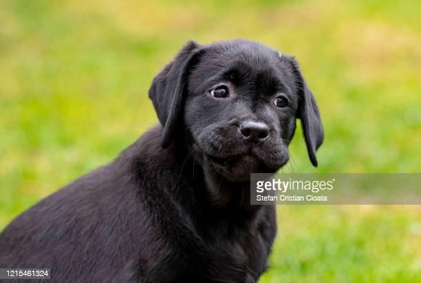 portrait of black labrador puppy - cristian neri foto e immagini stock