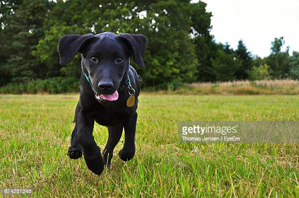 Portrait Of Black Labrador Puppy Running On Grassy Field