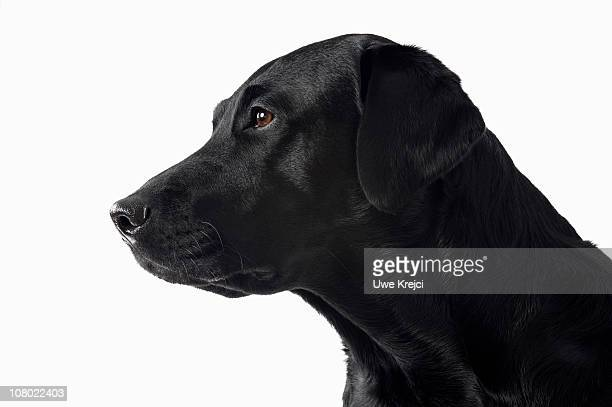 Portrait of black Labrador Retriever, profile