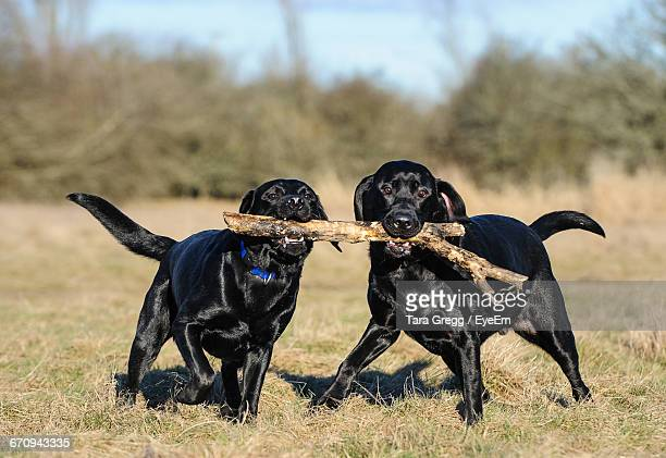 portrait of black labradors carrying stick in mouth on field - black labrador stock pictures, royalty-free photos & images