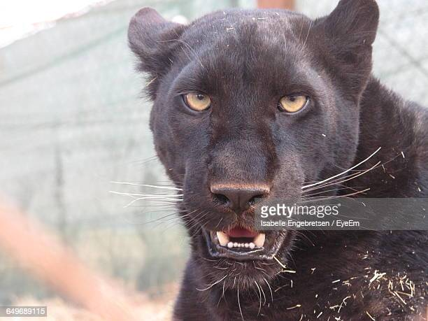 portrait of black leopard at zoo - black leopard stock pictures, royalty-free photos & images