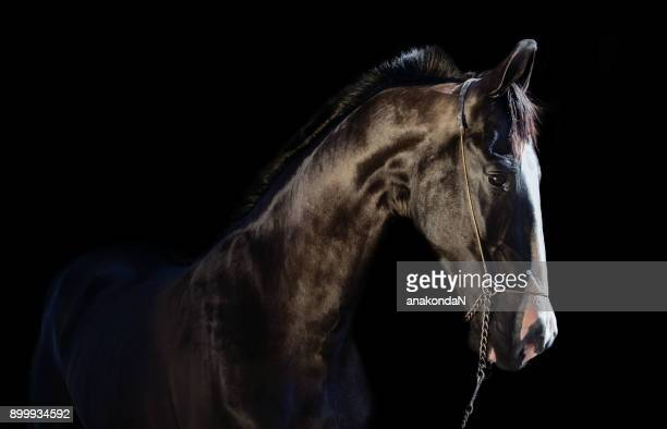 Marwari Horse Stock Photos And Pictures