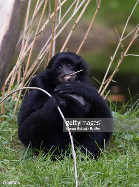 portrait of black monkey sitting on grass - eye black stock photos and pictures
