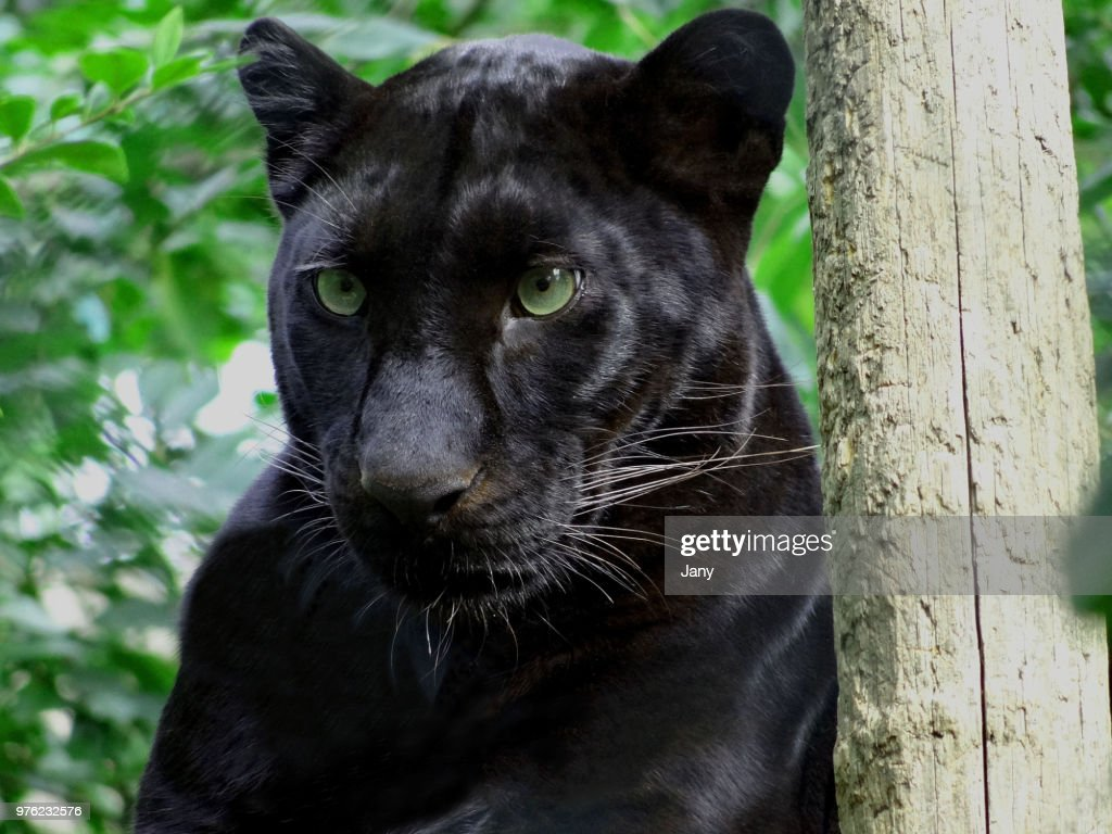 Portrait of black panther, France : Stock Photo