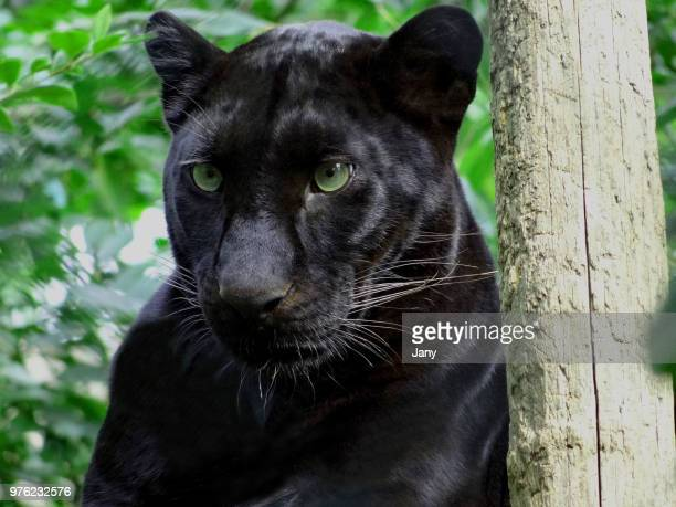 Portrait of black panther, France