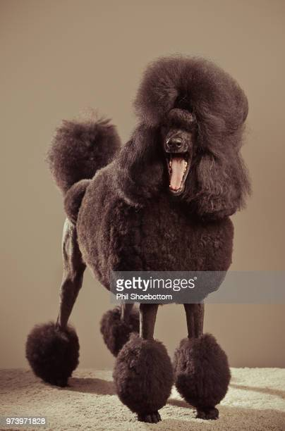 Portrait of black poodle with open mouth