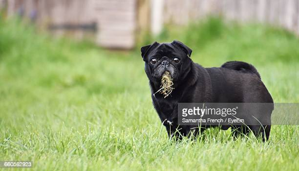 portrait of black pug eating grass - dog eating stock photos and pictures