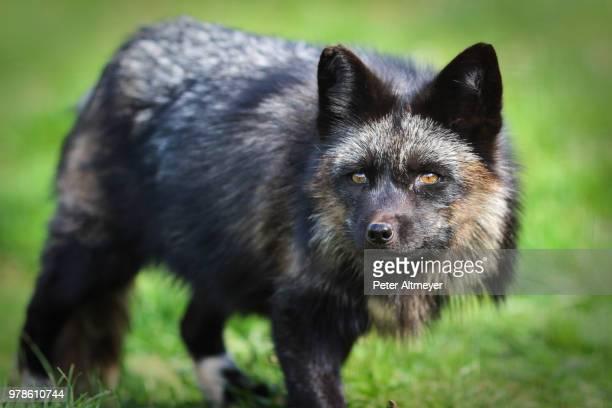 portrait of black raccoon dog (nyctereutes procyonoides) - marderhund stock-fotos und bilder