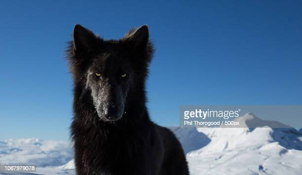 portrait of black wolf - black wolf stock pictures, royalty-free photos & images