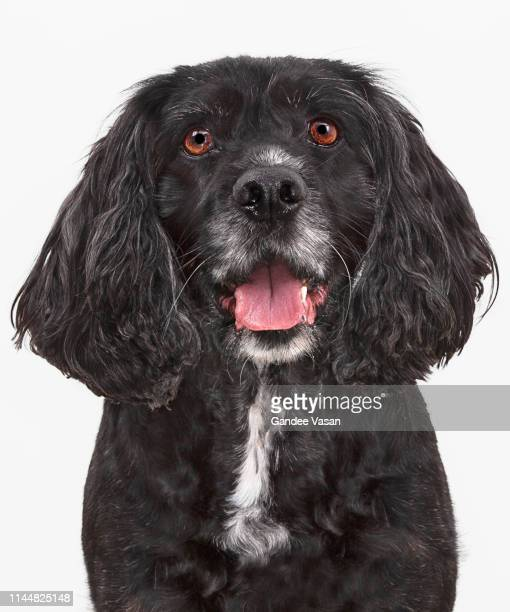 portrait of black working cocker spaniel - gandee stock pictures, royalty-free photos & images