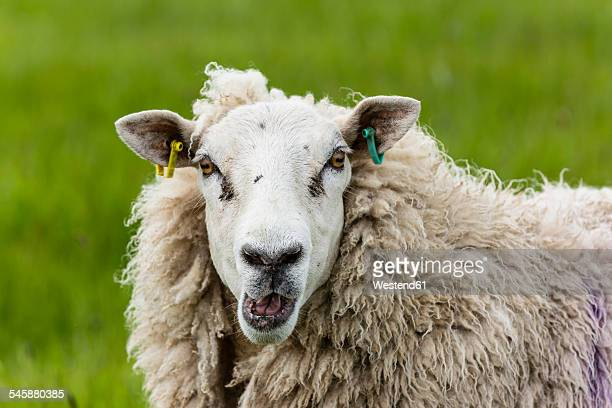 Portrait of bleating sheep