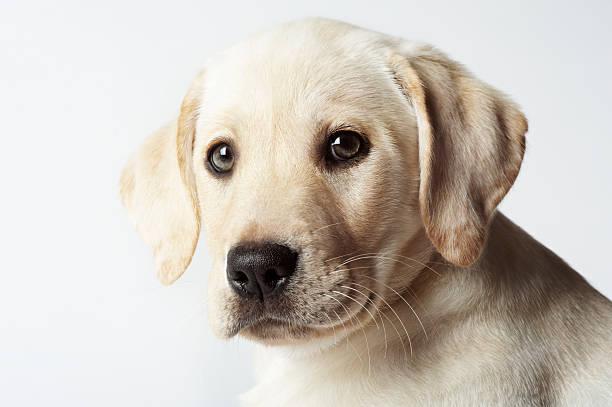 Portrait Of Blond Labrador Retriever Puppy Wall Art