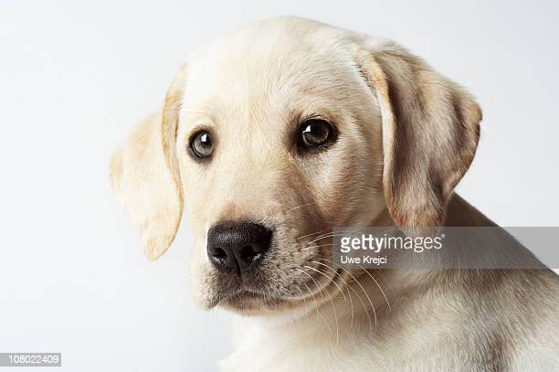 Portrait of blond Labrador Retriever Puppy