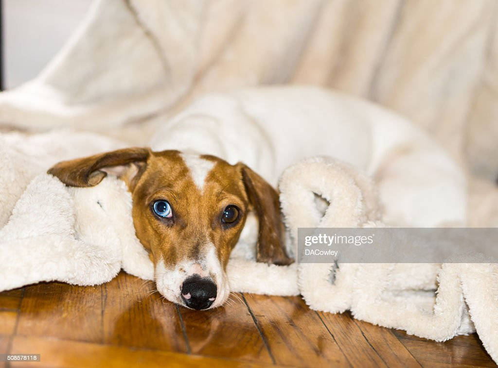 Portrait of Blue Eyed Dachshund : Stockfoto