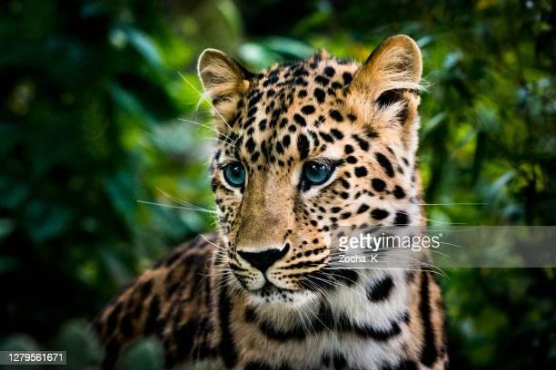 ritratto del cucciolo di leopardo dagli occhi azzurri - occhi azzurri foto e immagini stock