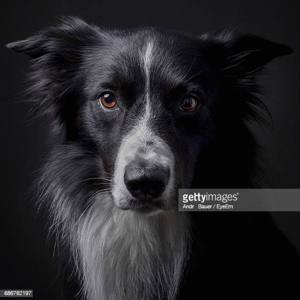 Portrait Of Border Collie Against Black Background