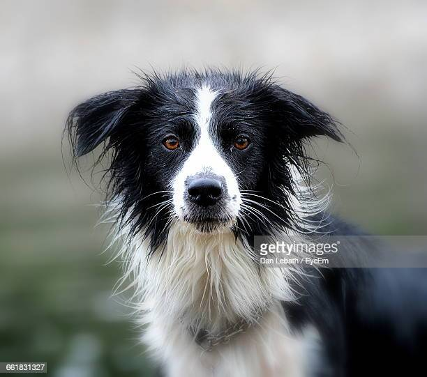 Portrait Of Border Collie Against Field