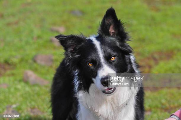 Portrait of Border Collie looking at camera with ears up