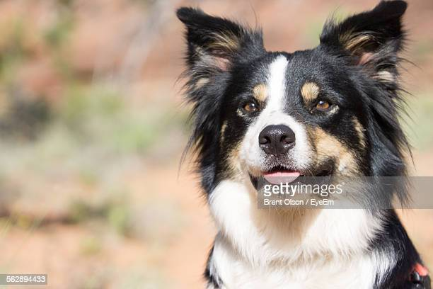 Portrait Of Border Collie Outdoors
