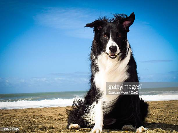 Portrait Of Border Collie Sitting On Sand At Beach Against Blue Sky During Sunny Day
