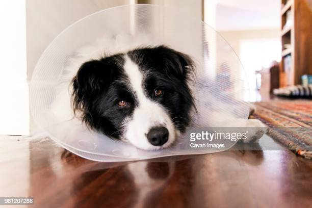 portrait of border collie wearing cone collar while relaxing on floor at home - elizabethan collar stock photos and pictures