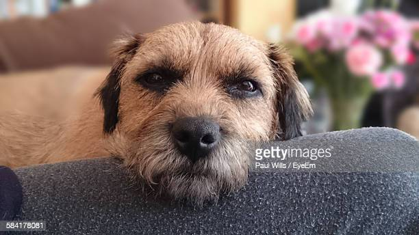 portrait of border terrier head on lap in living room - border terrier stock pictures, royalty-free photos & images