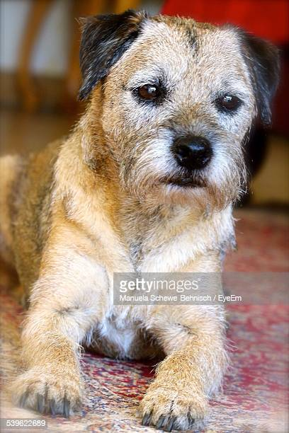 portrait of border terrier sitting on carpet at home - border terrier stock pictures, royalty-free photos & images