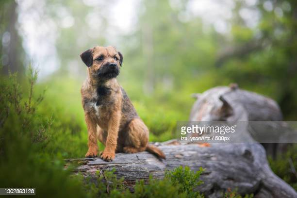 portrait of border terrier sitting on rock - border terrier stock pictures, royalty-free photos & images