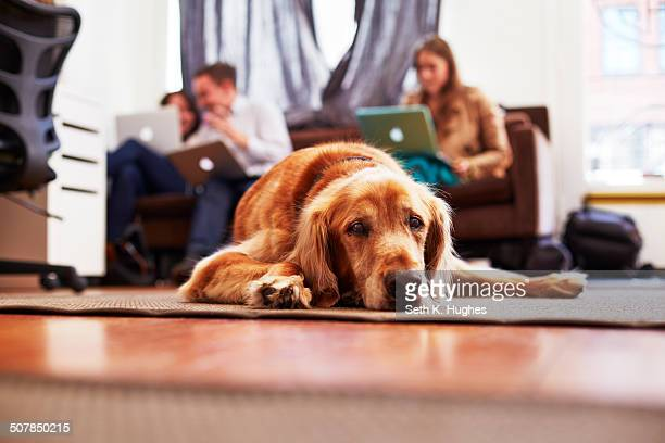 Portrait of bored dog lying on rug, people on laptops in background