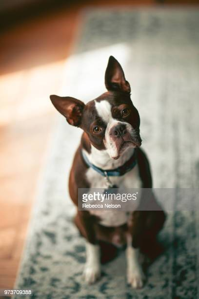 portrait of boston terrier, head cocked looking at camera - boston terrier stock photos and pictures