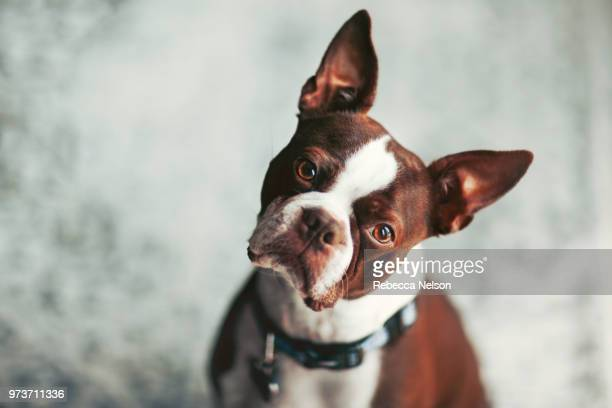 portrait of boston terrier, head cocked looking at camera - rebecca nelson stock pictures, royalty-free photos & images