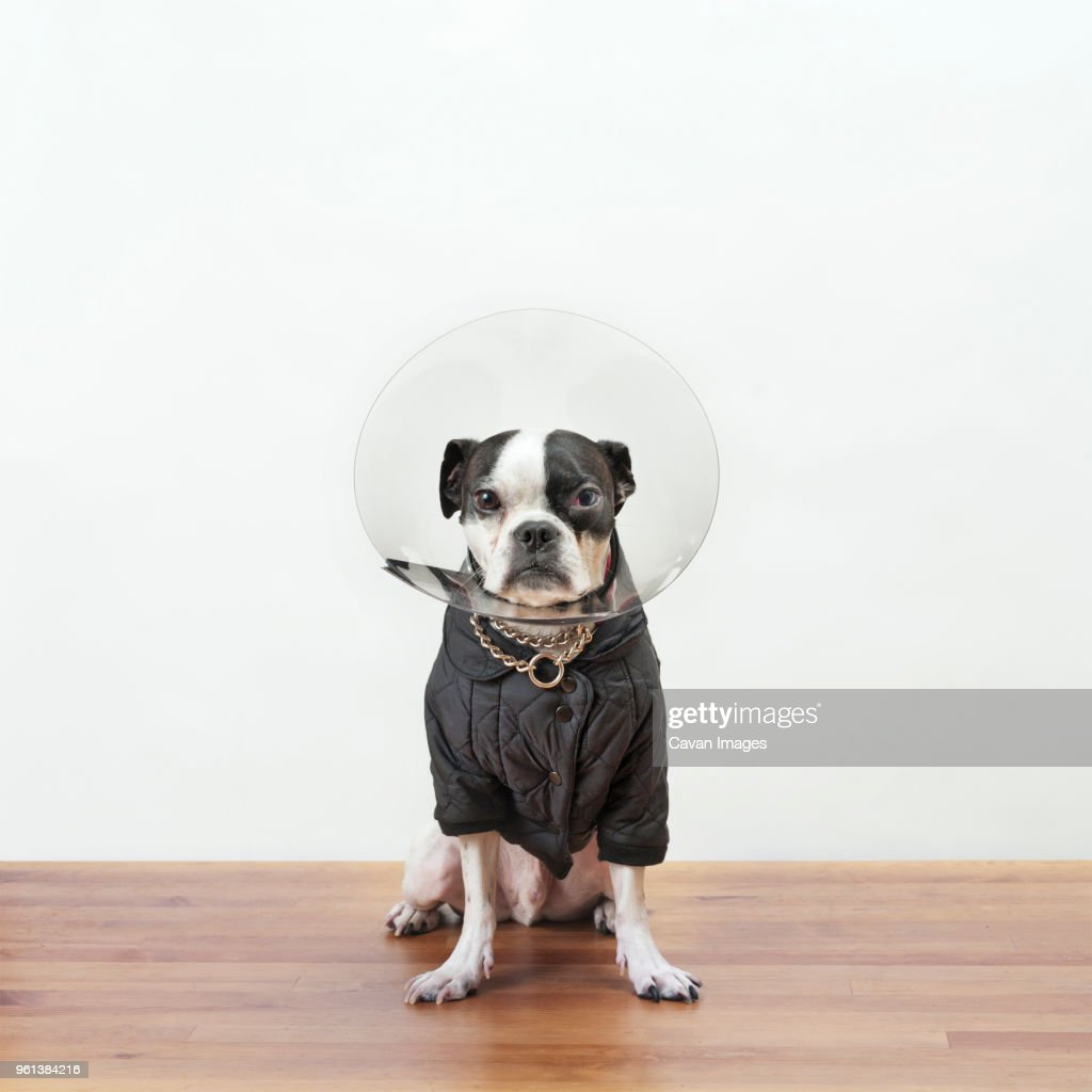 Portrait of Boston Terrier in protective collar sitting on wooden table against white wall : Stock Photo