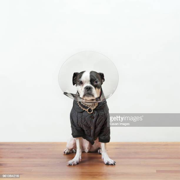 Portrait of Boston Terrier in protective collar sitting on wooden table against white wall