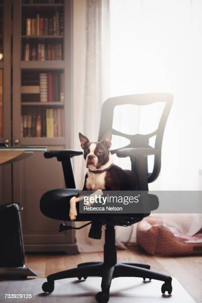 Portrait of boston terrier lying down looking out from office chair