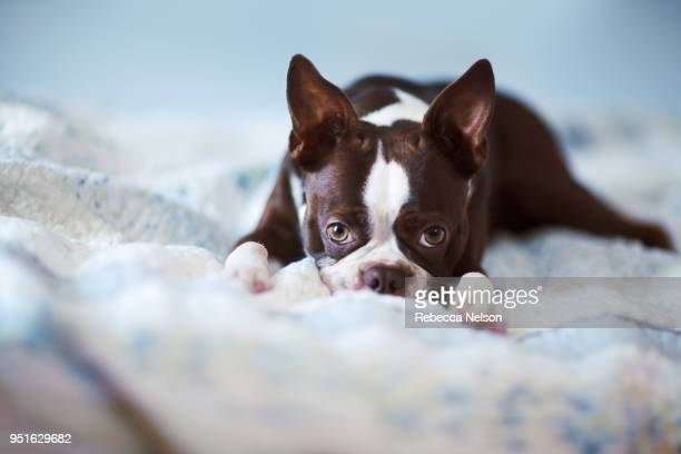 portrait of boston terrier lying on bed - boston terrier stock pictures, royalty-free photos & images